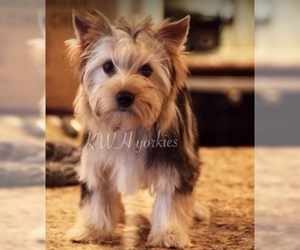 Mother of the Yorkshire Terrier puppies born on 01/10/2019