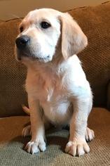Golden Labrador Puppy For Sale in FORT CALHOUN, NE