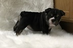 Bulldog Puppy For Sale in STREAMWOOD, IL