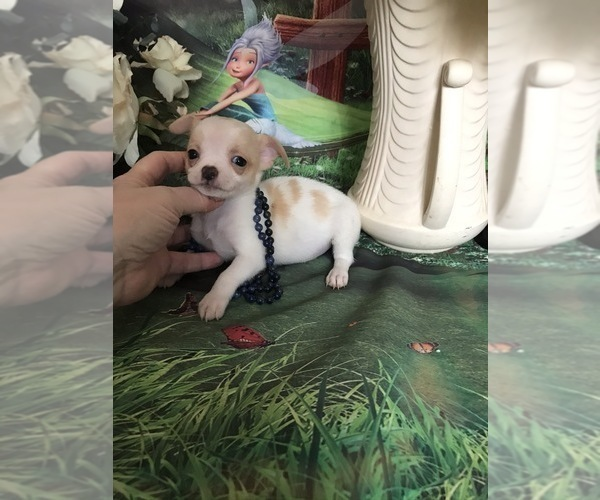 Medium Photo #2 Chihuahua Puppy For Sale in TRACY, CA, USA