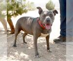 Small #258 American Pit Bull Terrier