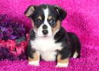 Pembroke Welsh Corgi Puppy For Sale in MOUNT JOY, PA, USA