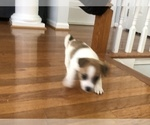 Small #16 Jack Russell Terrier