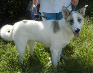 Cody - Akita / Husky / Mixed Dog For Adoption