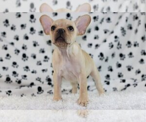 French Bulldog Puppy for sale in CENTENNIAL, CO, USA