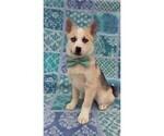 F2 Pomsky Puppy