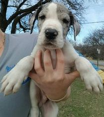 Great Dane Puppy For Sale in SPRINGTOWN, TX