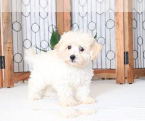 Maltipoo Puppy for sale in NAPLES, FL, USA
