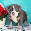 Olde English Bulldogge Puppy For Sale in GAP, PA,