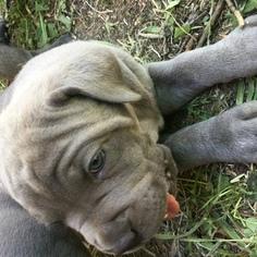 Cane Corso Puppy For Sale in PUEBLO, CO, USA