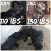 Cane Corso Puppy For Sale in INDIANAPOLIS, IN