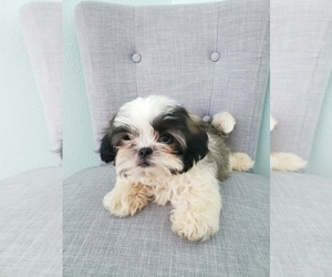 Shih Tzu Puppy for Sale in LEESBURG, Florida USA