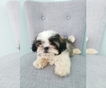 Shih Tzu Puppy For Sale in LEESBURG, FL, USA