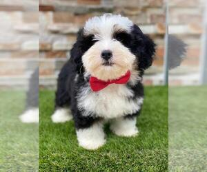 Bernedoodle Puppy for sale in KISSIMMEE, FL, USA