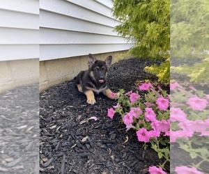 German Shepherd Dog Puppy for Sale in RICHMOND, Indiana USA