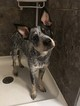 Australian Cattle Dog Puppy For Sale in GRAND RAPIDS, MI