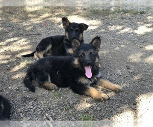 German Shepherd Dog Puppy for sale in EAGLE CREEK, OR, USA