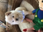 Chow Chow Puppy For Sale in GRANITE FALLS, NC, USA