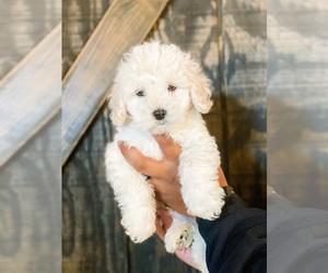Maltipoo Puppy for sale in LAKE HAVASU CITY, AZ, USA