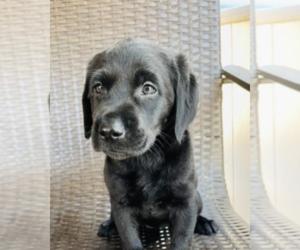 Labrador Retriever Puppy for sale in HUNTINGTN BCH, CA, USA