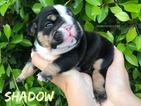 English Bulldogge Puppy For Sale in PICO RIVERA, CA