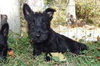 Scottish Terrier Puppy For Sale in LEON, WV, USA