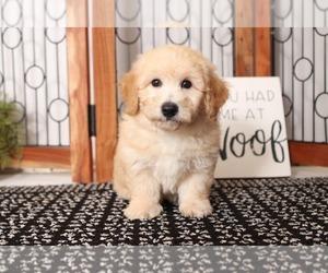 Bichpoo Puppy for sale in NAPLES, FL, USA