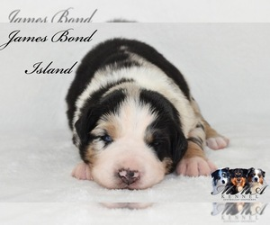 Australian Shepherd Puppy for Sale in EASTON, Missouri USA