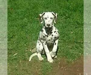 Mother of the Dalmatian puppies born on 02/20/2019