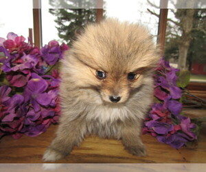 Pomeranian Puppy for sale in EAST LANSING, MI, USA