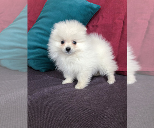 Pomeranian Puppy for sale in DES PLAINES, IL, USA