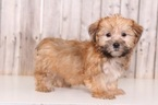 Shorkie Tzu Puppy For Sale in MOUNT VERNON, OH, USA
