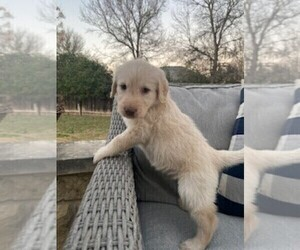 Labradoodle Puppy for sale in MARBLE FALLS, TX, USA
