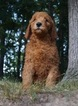 Goldendoodle-Poodle (Standard) Mix Puppy For Sale in WARSAW, IN, USA