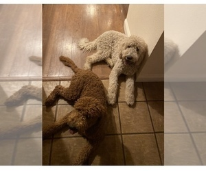 Mother of the Goldendoodle puppies born on 09/24/2020