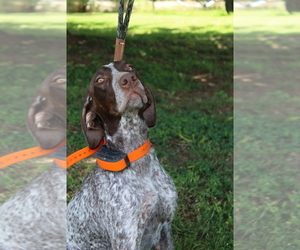 Mother of the German Shorthaired Pointer puppies born on 03/07/2019