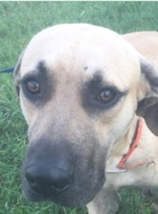 Black Mouth Cur Dog For Adoption in ANGLETON, TX, USA