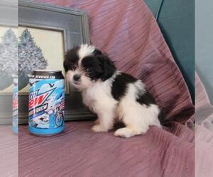 Zuchon Dog for Adoption in LE MARS, Iowa USA