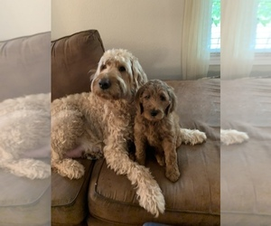 Father of the Goldendoodle puppies born on 04/18/2021