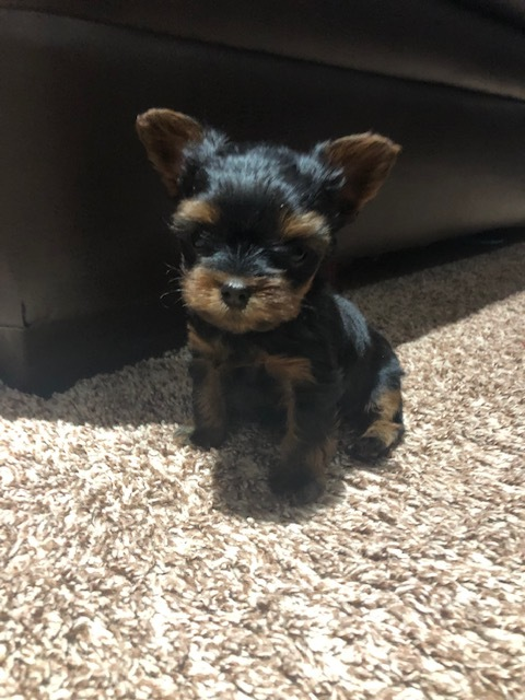 View Ad: Yorkshire Terrier Litter of Puppies for Sale near