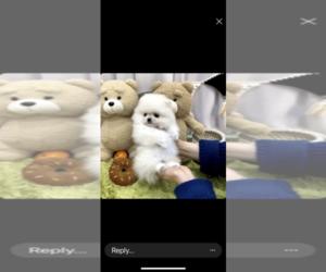 Pomeranian Puppy for Sale in CHINO HILLS, California USA