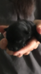 Scottish Terrier Puppy For Sale in SHALLOTTE, NC, USA