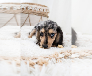 Dachshund Puppy for sale in LONG ISLAND CITY, NY, USA