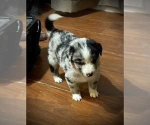 Australian Shepherd Dog for Adoption in PHOENIX, Arizona USA