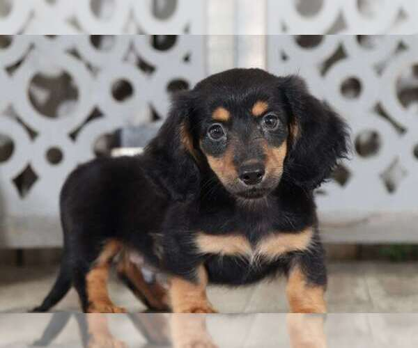 View Ad: Dachshund Puppy for Sale near Netherlands