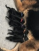 German Shepherd Dog Puppy For Sale in LOX, FL, USA