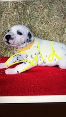 Dalmatian Puppy For Sale in LONGS, SC, USA
