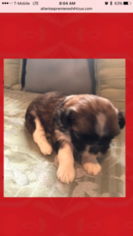 Shih Tzu Puppy For Sale in LAWRENCEVILLE, GA