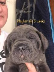 Cane Corso Puppy For Sale in ALLENTOWN, PA