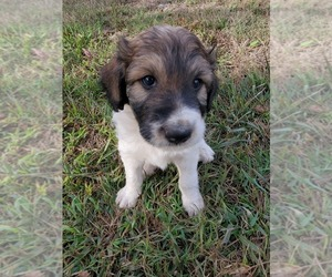 Pyredoodle Puppy for Sale in NASHVILLE, Tennessee USA